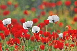 red-white-poppies