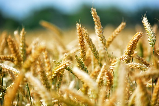 The-Parable-of-the-Wheat-and-the-Tares-550x366